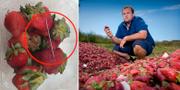 Bild föreställande nål i ett av paketen/Aidan Young, odlare, kommer att få förstöra jordgubbarna på bilden som en följd av rädslan för nålar i landet TT