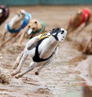 Greyhound tävlar i Kalifornien i USA. Nicki Kohl / TT NYHETSBYRÅN