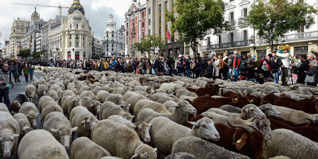 Får, getter och kor intog Madrids gator. OSCAR DEL POZO / AFP