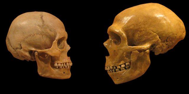 En skalle från en modern människa jämfört med en från en neandertalare. Wikimedia commons
