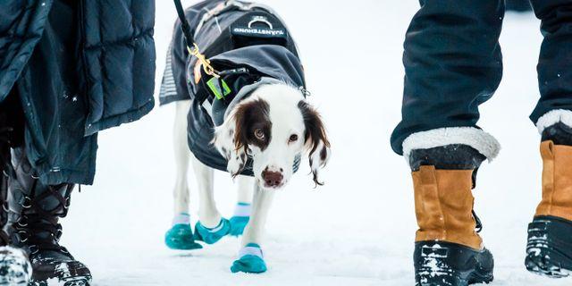 Dopninghunden Molly är en springer spaniel som jobbar för Riksidrottsförbundet.  SIMON HASTEG RD / BILDBYR N