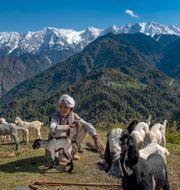 En herde vilar med sina getter. Himalaya i bakgrunden. Arkivbild.  Ashwini Bhatia / TT NYHETSBYRÅN