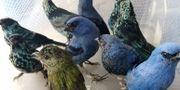 Bild på fåglarna. HO / SERFOR
