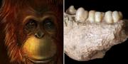 Gigantopithecus blacki /käken som analyserats. TT