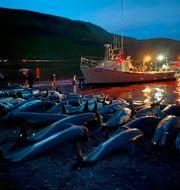Vattnet utanför ön Eysturoy färgas rött av blodet från delfinerna. TT NYHETSBYRÅN