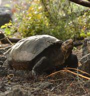 Landsköldpaddan som nu har bekrätats tillhöra arten Chelonoidis phantasticus.  Andres Morales / TT NYHETSBYRÅN