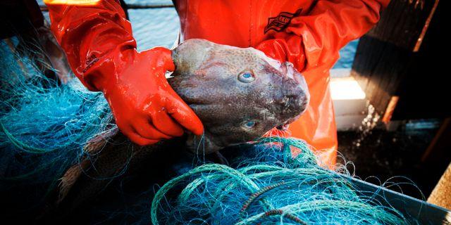 Infångad torsk.  Yvonne Åsell / SvD / TT / TT NYHETSBYRÅN