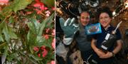 Den rödbladiga salladen som odlats på ISS är nyttig och ätbar / Astronauterna Luca Parmitano och Christina Koch visar upp ett lyckat kakbak på ISS. Nasa /AFP/TT