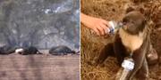Djur drabbas hårt av bränderna i Australien. TT