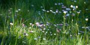 En äng med blommor. FREDRIK SANDBERG / TT / TT NYHETSBYRÅN