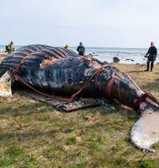 Den strandade knölvalen, på land. Suvad Mrkonjic/TT / TT NYHETSBYRÅN