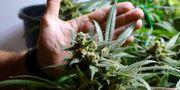 En marijuanaplanta.  Ted S. Warren / TT NYHETSBYRÅN