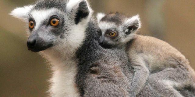 Arkivbild på lemur. Steven Senne / AP