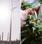 Vindkraft/marijuana/Nyamko Sabuni (L), tre av ämnena på dagens ledarsidor. TT