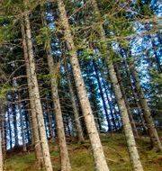 Skog. Gorm Kallestad / TT NYHETSBYRÅN
