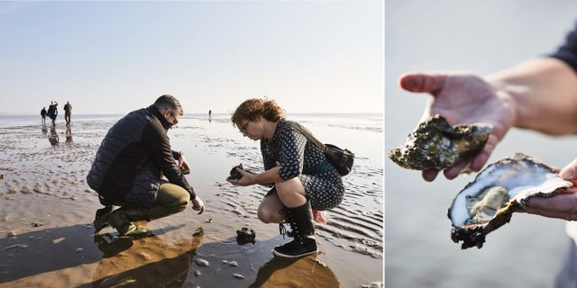 På Danmarks nya matfestival kan du plocka ostron direkt från stranden. Søren F Gammelmark/Danmarks Østersfestival