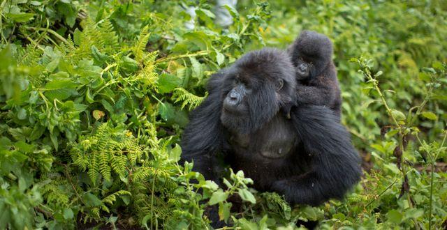 Bergsgorillor i norra Rwanda. Ben Curtis / TT NYHETSBYRÅN