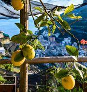 Illustrationsbild: Citronodling på Amalfikusten i Italien.  ANDREAS SOLARO / TT NYHETSBYRÅN