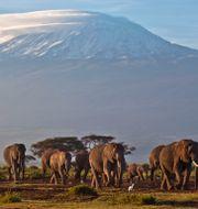 Elefanter i Amboseli. Ben Curtis / TT NYHETSBYRÅN