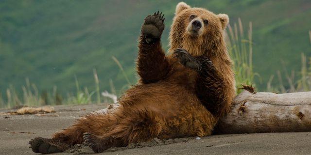 I sommar kan du övernatta i riktigt björnide utanför Dorotea. Thinkstock