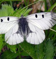 Mnemosynefjäril. Algirdas Wikimedia commons
