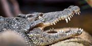 Krokodil på Skansen. Karin Wesslen/TT / TT NYHETSBYRÅN