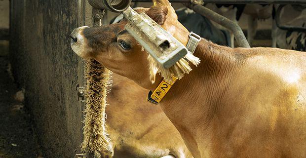I många ladugårdar finns fasta eller roterande ryktborstar som korna kan skrubba sig mot när de är inomhus.  Foto: Arla