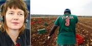 Malin Björk i EU-parlamentet och en potatisplockare i Italien. TT