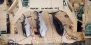 Valar på ett japanskt fartyg 2014. Tim Watters / TT NYHETSBYRÅN
