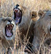 Arkivbild: Lejon i Sydafrika Kevin Anderson / TT NYHETSBYRÅN