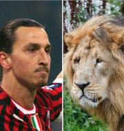 Ibrahimovic och Herngren, med illustrationsbilder av lejon och babian Bildbyrån, TT