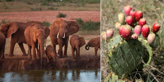 Opuntiakaktusarna är lockande föda för elefanter. TT/Wikimedia/Stan Shebs