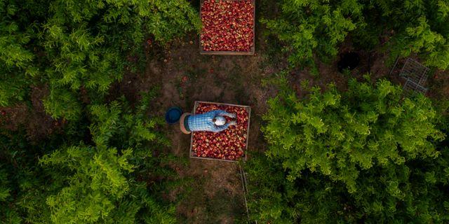 Arbetare från Bulgarien skördar nektariner i Fraga, utanför staden Lleida i Katalonien som spärrats av för att mota ett virusutbrott i området  Emilio Morenatti / TT NYHETSBYRÅN