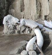 Mammutfyndet i Tultepec är det största någonsin.  Meliton Tapia / TT NYHETSBYRÅN
