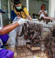 Fladdermöss på matmarknad i Indonesien TT NYHETSBYRÅN