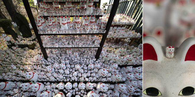 Tusentals lyckokatter står i långa rader på tempelgården. TT Nyhetsbyrån