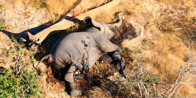Död elefant.  TT NYHETSBYRÅN