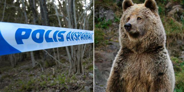 Arkivbild: Brunbjörn på Kolmårdens djurpark TT
