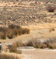 En fårherde vallar sina djur på en uttorkad flodbotten.  Themba Hadebe / TT NYHETSBYRÅN