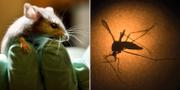 Arkivbild på en mus/en mygga som bär Zikaviruset undersöks. TT