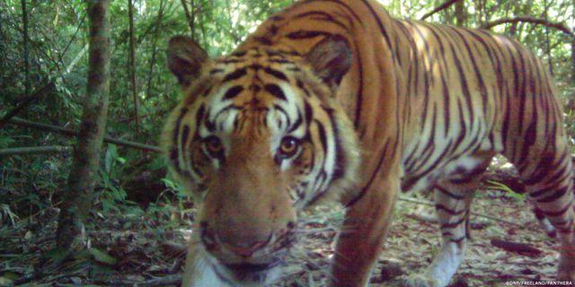 En nyfiken tiger i djungeln i Thailand år 2016. Sakchai Lalit / TT NYHETSBYRÅN