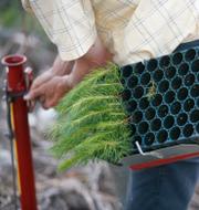 Skogsplantering/Trädgårdsskötsel (Illustrationsbild) TT