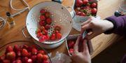 Rensning av jordgubbar till midsommarbordet. Arkivbild. Hasse Holmberg / TT / TT NYHETSBYRÅN