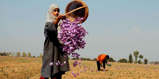 En kvinna plockar saffranskrokusar. Arkivbild Mukhtar Khan / TT NYHETSBYRÅN/ NTB Scanpix