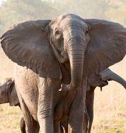 En av elefanterna utan betar i Gorongosa. TT NYHETSBYRÅN