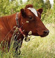 Med aktivitetsmätare runt halsen går det bland annat att upptäcka om korna har ett avvikande rörelsemönster eller om de äter mer sällan. Foto: Arla
