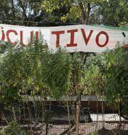 """Illustrationsbild: Legaliseringsförespråkare har skapat en """"cannabisträdgård"""" utanför den mexikanska senatsbyggnaden, som ett sätt att demonstrera, skriver AP.  Eduardo Verdugo / TT NYHETSBYRÅN"""