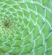 Växt där förhållandet återkommer.  Wikimedia Commons.