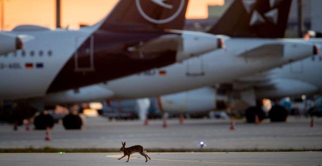 En hare vid den lågaktiva flygplatsen i Frankfurt. Michael Probst / TT NYHETSBYRÅN