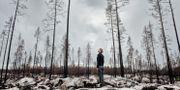 Brandområdet i Västmanland, ett år efter branden, 2015. Pi Frisk/SvD/TT / TT NYHETSBYRÅN